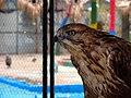 Eagle عقاب 16.jpg
