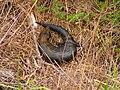 Eastern Blue-tongued Lizard.jpg