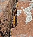 Eastern Cape Crag Lizard (Pseudocordylus microlepidotus fasciatus) male (32744389165).jpg