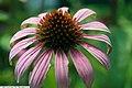 Echinacea purpurea Ruby Star 1zz.jpg
