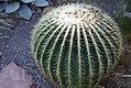 Echinocactus grusonii 1zz.jpg