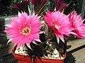 Echinopsis pentlandii1PCJO.jpg