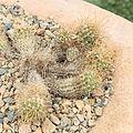 Echinopsis schieliana-IMG 6613.JPG