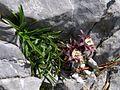 Edraianthus graminifolius PID1418-8.jpg