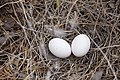 Eggs - Flickr - aspidoscelis.jpg
