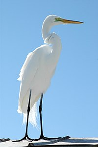 Egret on a hot tin roof.jpg