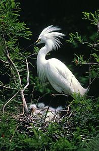 ardeidae egretta wikipedia thula aves
