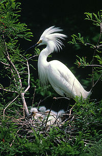 Snowy Egret and chicks