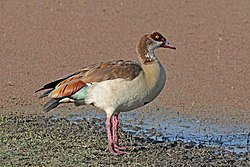 Egyptian Goose (Alopochen aegyptiaca), Lake Ziway, Ethiopia.jpg