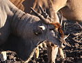 Eland (Taurotragus oryx) in Mapungubwe - a bull with red hair (6032214139).jpg
