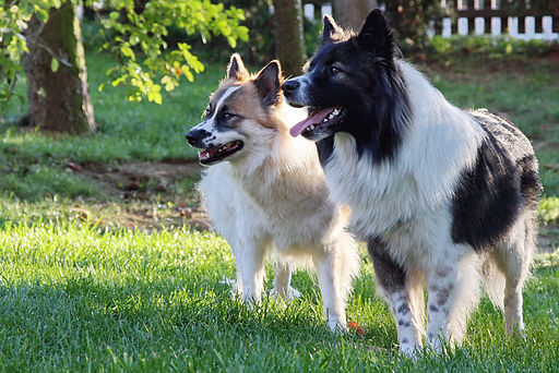Elo-hunde-glatthaar