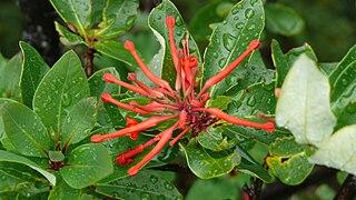 <i>Embothrium coccineum</i> species of plant
