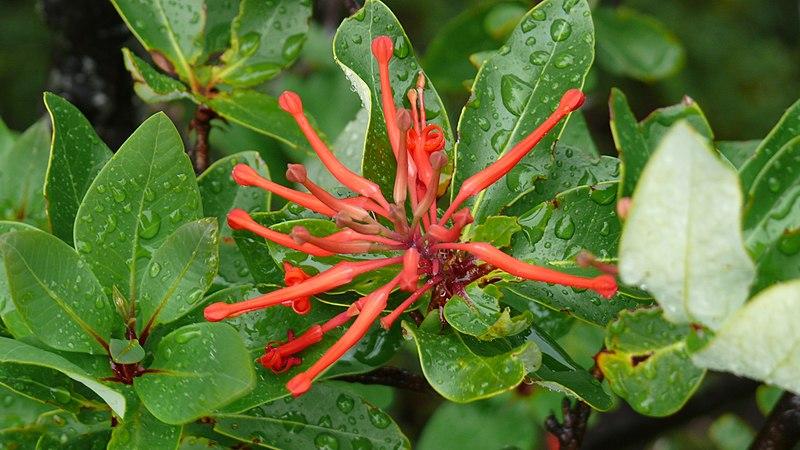 feuilles et fleur du notro