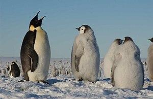 Image result for αυτοκρατορικοι πιγκουινοι