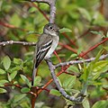 Empidonax minimus CT 05.jpg