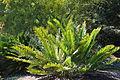 Encephalartos lebomboensis - Leaning Pine Arboretum - DSC05524.JPG