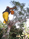 A woman wearing protective gloves and holding a small pail reaches out to the branches of a small tree to catch stink bugs.