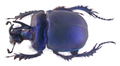 Enoplotrupes sharpi Rothschild & Jordan, 1893 lateral.png