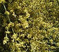 Ephedra fragilis1 ies.jpg