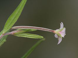 Epilobium palustre behaarung.jpeg