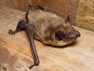Serotine bat - Image: Eptesicus serotinus