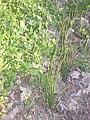 Equisetum bogotense 416.JPG