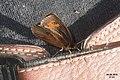 Erebia aethiops (Heit.) (24535350342).jpg