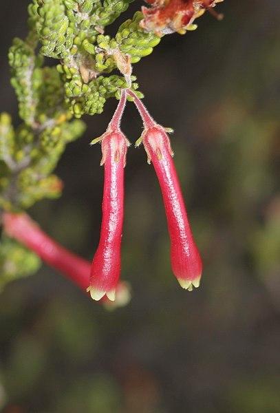 File:Erica discolor (Ericaceae) (4575521375).jpg