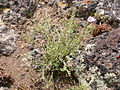 Erigeron pumilus (3713973873).jpg