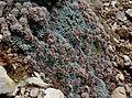 Eriogonum soredium.jpg