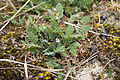 Erodium cicutarium sentier-decouverte-fort-mahon-plage 80 29042007 1.jpg