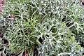 Eryngium bourgatii2.jpg