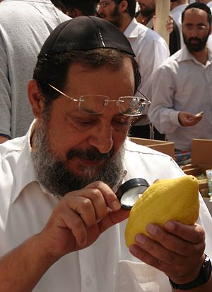 Yemenite citron - A man in Bnei Brak examines a Yemenite etrog for flaws.