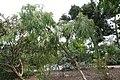 Eucalyptus leucoxylon bellarinensis 6zz.jpg