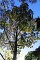 Eucalyptus saligna kz02.jpg