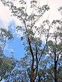 Eucalyptus sieberi Katoomba.jpg