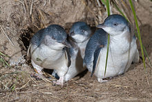 Group of three little penguins at the entrance of a nesting burrow