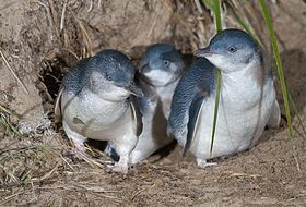 Group of three little penguins standing at entrance to nesting burrow