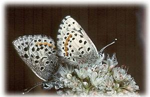 Smith's blue butterfly - Smith's blue butterfly