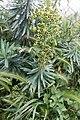 Euphorbia characias-Euphorbe characias-Feuilles-20160417.jpg