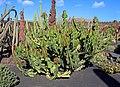 Euphorbia cooperi 001.JPG