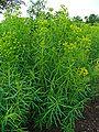Euphorbia esula 001.JPG