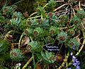 Euphorbia myrsinites reddish form - Flickr - peganum (3).jpg