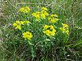 Euphorbia polychroma sl11.jpg