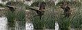 Eurasian Marsh Harrier (Circus aeruginosus) W .jpg