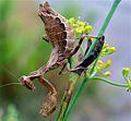 European Dwarf Mantis (Ameles spallanzania) female (8348866507).jpg