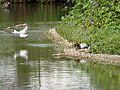 European pochard and black headed gull (14398889043).jpg