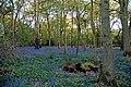 Evening Bluebells 2 (4584397141).jpg