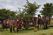 A csoport Exmoor pónik