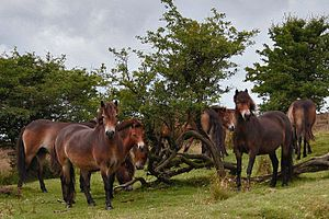 Exmoor pony - A herd of Exmoor ponies